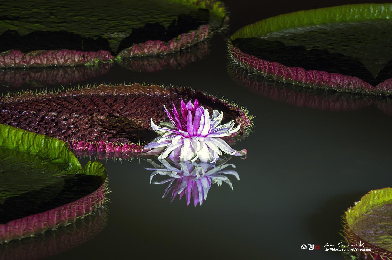 빅토리아연꽃