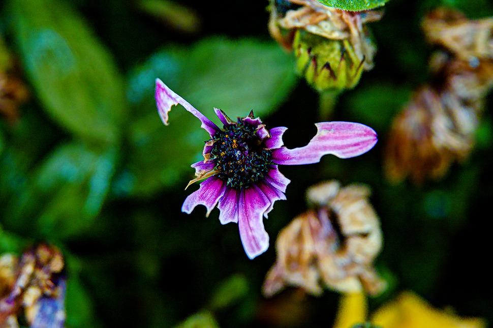첫번째 사진처럼 병충해가 갉아먹었는지 형체를 알아보기 힘들만큼 뜯겨져 나간 꽃. -조금 덜 화려해도 꽃이다. 향기가나지 않아도 꽃이다. 아름답지 않아도 꽃이다. 뭐 이런말을 해주고 싶었다.