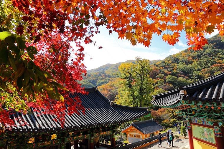 용문사 단풍나무 용문산 사찰 양평 나홀로여행