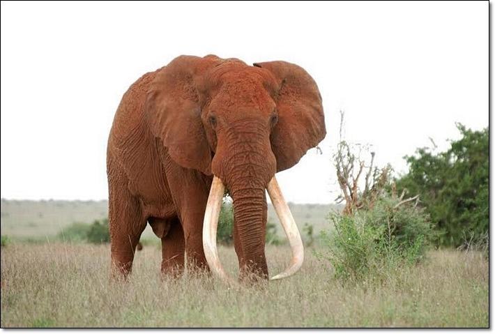 아프리카의 거대 코끼리 사타오 이야기
