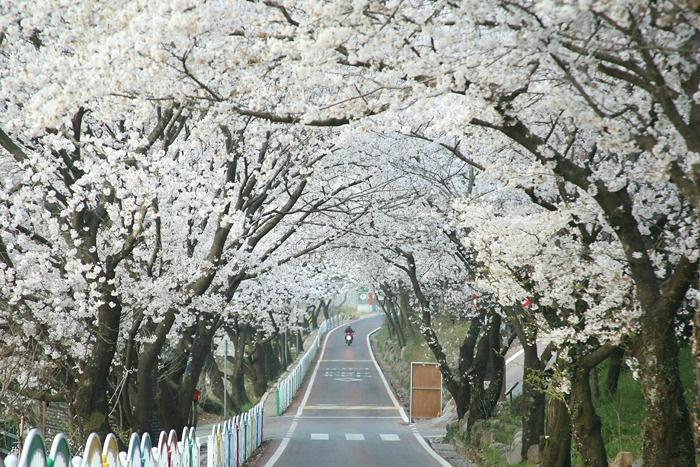 십리벚꽃길
