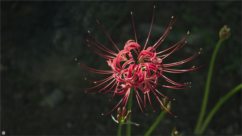 [삼성NX500] 꽃무릇_3