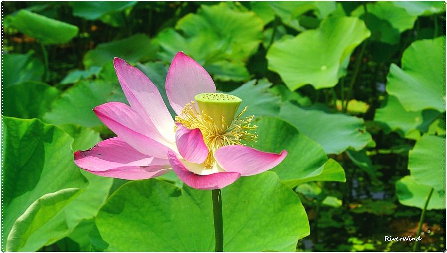 연 꽃잎과 연꽃 씨앗