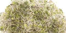 브로콜리 새싹