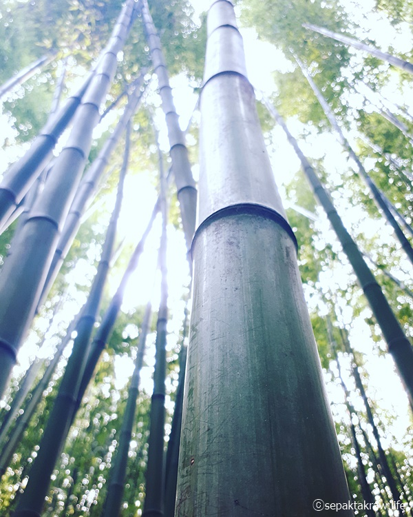 울산태화강공원_대나무숲